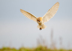 barn owl (markoh2011) Tags: bird barn owl barnowl wildbird
