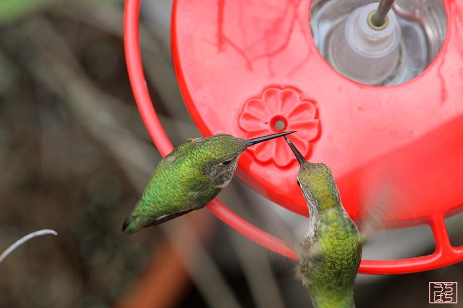 Allan's Hummingbird Anna's Hummingbird 022511-3