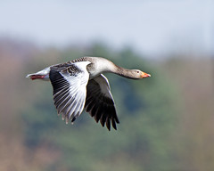 Flight (Andrew H Wildlife Images) Tags: bird nature wildlife goose warwickshire brandonmarsh canon7d ajh2008 coventrty