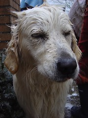 Punishment!..... I hate that shower (Guido Havelaar) Tags: dog chien cute dogs cane goldenretriever puppy hound perro hund pup cão grcn caneimmagini fotosdocão fotosdelperro