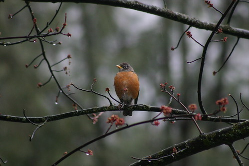American Robin in the Tree