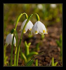 _SG_2011_02_2018 (_SG_) Tags: park snow green english canon garden schweiz switzerland is drops spring suisse basel 7d villa usm grn englischergarten garten ef snowdrop englishgarden frhling basle grn80 merian welt 24105 gruen80 schneeglckchen englischer botanik botanischergarten botanischer f4l 24105mm neuewelt canonef24105mmf4lisusm frhlingsbote canonef24105mm merianpark ef24105mm villamerian brglingen ef24105 schneeglcklein eos7d canoneos7d canon7d grn80neuewelt neueweltgrn80 neueweltgruen80 merianparkbrglingen grn80neue