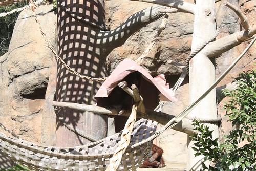 Hiding Orangutan