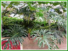 Philodendron bipinnatifidum on a raised concrete border #1/2