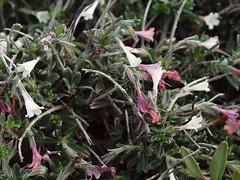 Lithodora hispidula subsp. versicolor Meikle (Peter M Greenwood) Tags: versicolor lithodora hispidula subsp cyprusflora lithodorahispidulasubspversicolormeikle lithodorahispidulasubspversicolor