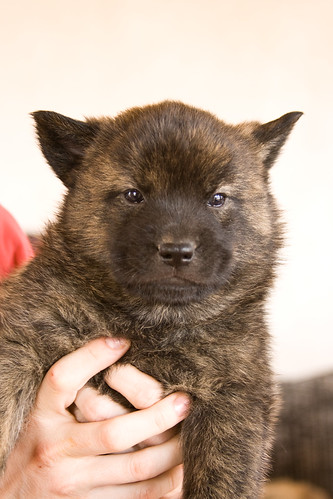 Haru_Winter-2011-Litter_Day30_Puppy4-Male_a