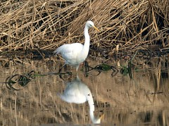 Grande Aigrette - Ardea alba-Great Egret (Le poidesans) Tags: bird birds fauna canon searchthebest wildlife aves fabulous soe defender birdwatcher excellence faune naturesfinest birdphoto abigfave anawesomeshot aplusphoto avianexcellence concordians wwfita avesdelmundo vosplusbellesphotos