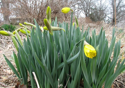 daffodil blossom