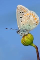 "argus (aziouezmazouz) Tags: blue macro butterfly colours bokeh national geographic nationalgeographic bellissima anawesomeshot colorphotoaward macromarvels ahqmacro spiritofphotography alittlebeauty ""flickraward"" macrodreams ""flickraward5"" blinkagain bestofblinkwinners blinkagainsuperstars"