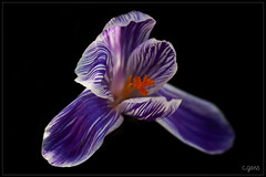 Crocus (~Cess~) Tags: white flower fleur purple violet crocus blanc violette
