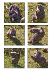 Juggling Otter (juliereynoldsphotography) Tags: park animals ball fun play egg safari otter knowsley