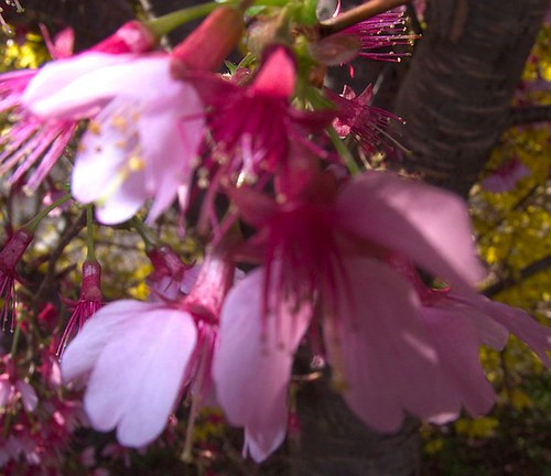 Japanese Kwanza Cherry Blossoms