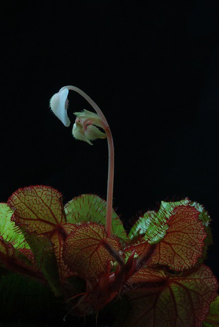 Begonia limprichtii Flower and Plant