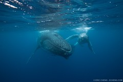 Humpback whale mother and calf, Tonga (echeng) Tags: tonga mammalia marinelife vavau marinemammals echeng humpbackwhalemegapteranovaeangliae cetaceanscetacea filterfeedingwhalesgreatwhalesbaleenwhalesmysteceti rorqualsbalaenopteridae onephotoweeklycontestwinner