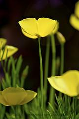 Springing Forward (Didenze) Tags: flowers light yellow soft raw bokeh coronadelmar shermangardens canon450d didenze