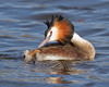 Contented Grebe (Andrew Haynes Wildlife Images) Tags: bird nature wildlife coventry warwickshire greatcrestedgrebe canon7d ajh2008