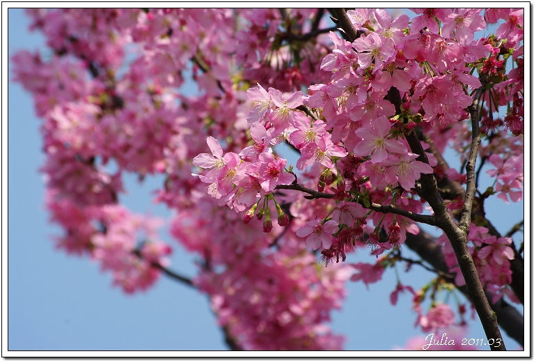 櫻花 (3)