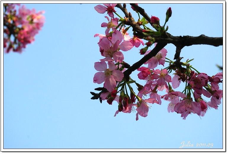 櫻花 (18)