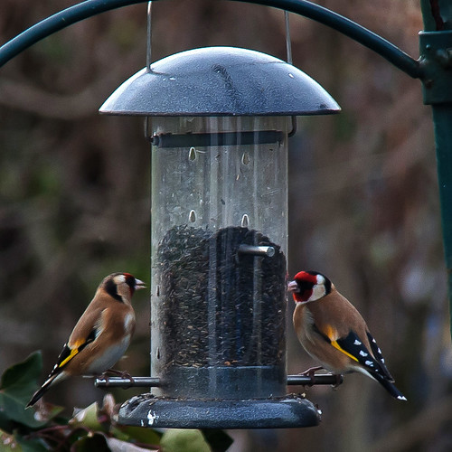 Goldfinches - 52 WFND 11/52