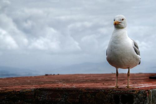 Seagull. Cíes Islands. Galicia. Gaviota. Islas Cíes