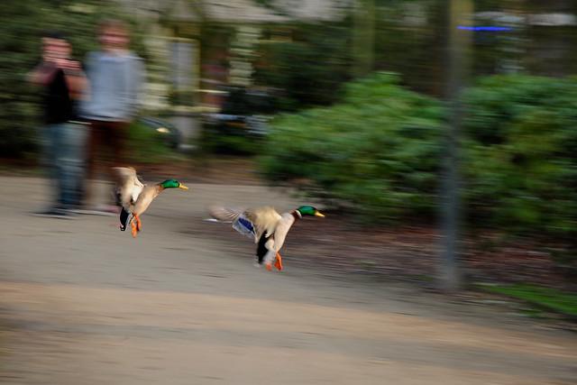 ducks landing 2