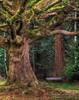 Missing (janusz l) Tags: park winter tree bench moss maple missing bravo empty surrey redwood hdr janusz leszczynski 000501