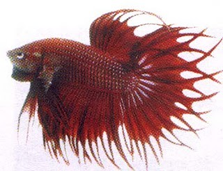 Cupang Crowntail