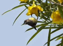 Hanging on Flower - Subject is watching me before flying (Sandeep Santra(Searching Jobs ~ A Bit busy)) Tags: flowers india flower colour macro bird closeup canon photography eos interestingness colours birding hanging sunbird westbengal 500d moutushi flickraward sandeepsantra