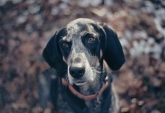 dreamy girl (huckleberryblue) Tags: autumn dog fall film leaves 35mm eyes gracie whiskers kodachrome kr omg coonhound bluetickcoonhound olympusom zuiko50mm18