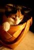 20071216_1795b (Fantasyfan.) Tags: pet cute animal topv111 tag3 taggedout topv333 kitten warm tag2 tag1 kitty fluffy atmosphere curious fantasyfanin bascket highqualityanimals siirretty