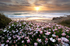 lazy daisies (windansea, san diego) (max vuong) Tags: ocean california flowers sunset wild plants sun white max flower beach nature clouds daisies gold coast spring flora waves purple sandiego blossom blossoms daisy bloom buds wildflower budding flourish windansea samyang naturepoetry rokinon canon5dmkii lenspath rokinon14mm