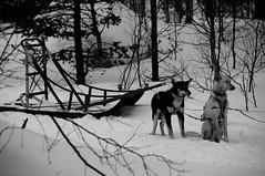 DSC_0093 (sbuliani) Tags: snow dogs norway finland frozen arctic sleds enduro skidoos 2011