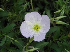 a single primrose