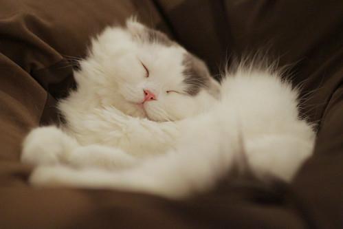 [フリー画像] 動物, 哺乳類, ネコ科, 猫・ネコ, 寝顔・寝ている, 201104061100
