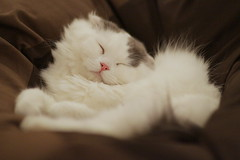 Sleeping cutie (Takashi(aes256)) Tags: animal cat scottishfold    catcafe canonef85mmf12liiusm  canoneos7d  nekorobi