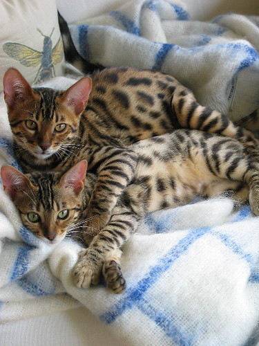 snuggling_cats-1465