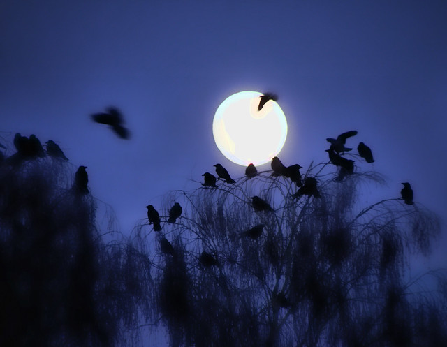 crows and moon