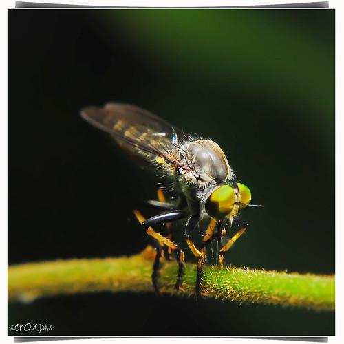 robberfly with prey 2
