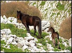 San Fratellano horse (Rianetna) Tags: horse sicily cavallo sicilia nebrodi longi sanfratello alcaralifusi rocchedelcrasto sanfratellano cavallosanfratellano