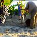 gite pays cathare accueil en vignoble aude vendanges montbrun des corbières