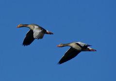 Geeeez (Jaedde & Sis) Tags: two geese flight greylag gamewinner grågæs 15challengeswinner friendlychallenges challengefactorywinner thechallengefactory fotobronze storybookwinner