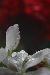 Focus. (beckybarnett303) Tags: flower nature contrast macro green red drop water droplet focus depth home garden natural flora petal rain