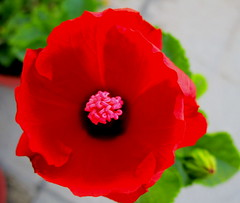 Ibiscus macro.. (graziamariapaolaspinella) Tags: ibiscus fiore rosso petali pistillo