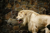DSC03400-2 (hofferp) Tags: animallove animalphotos animals zoobudapest zoolife hungary sostozoo sonya300 sonydslr sonycam tiger whitelion littlepanda katta lion zebra orangutan