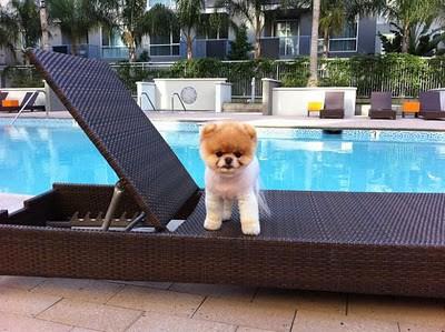 boo_Pomeranian_Dog_18
