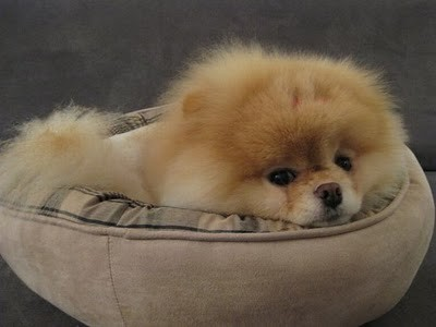 boo_Pomeranian_Dog_23