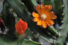 Hoya Cumingiana (Michael Döring) Tags: makro bochum d300 botanischergarten querenburg ruhruniversitätbochum wachsblume michaeldöring afs60microg hoyacumingiana