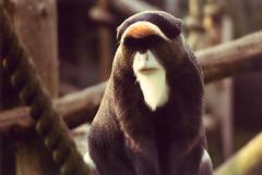 Debrazza Monkey (Paul-M-W) Tags: sunlight animal zoo monkey chimp ancestor ape blackpool simian debrazza