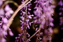 Wisteria (explored) (Candice Elizabeth) Tags: pink flowers nature 50mm spring nikon elizabeth purple bokeh candice wisteria d90