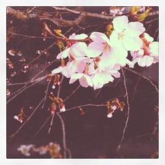 桜、ぼちぼちかな